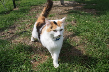 Chat, félin, prédateur, le plus beau pose dans l'herbe