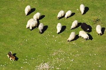 Dog keeps a flock of sheep in the pasture