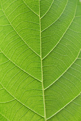 Green leaf vein for background