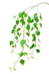 birch branch on a white background