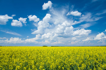 Wall Mural - Flowering canola or rapeseed field