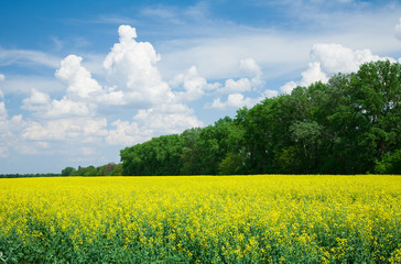 Wall Mural - Blooming canola in front of a forest