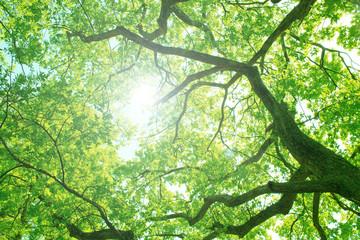 大木の新緑