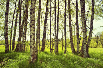 Aluminium Prints Birch Grove spring birch trees on a meadow