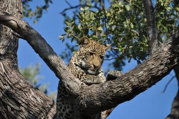 Wall Murals Panther Leopard auf Baum