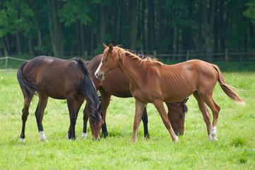 Pferde 522
