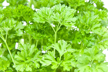 Parsley (macro view)