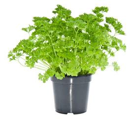 Fresh parsley in black pot