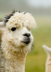 An Alpaca with white and grey hair