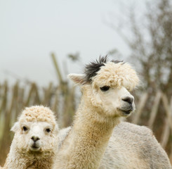 Alpaca mother and child in a field