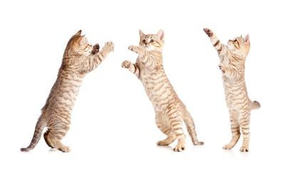 Papier Peint - jumping british kitten set