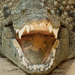 Printed roller blinds Crocodile Krokodil