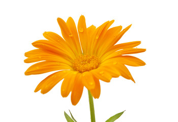 marigold flower with dew drops isolated
