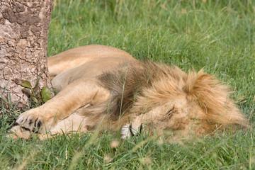 Leone maschio che dorme