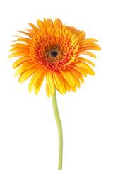 gerbera naranja, flores