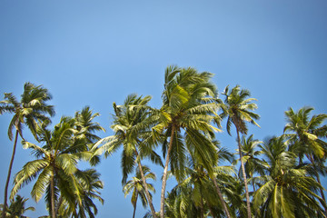 beautiful palm trees against blue sunny sky
