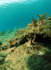 Fototapete - Lobster