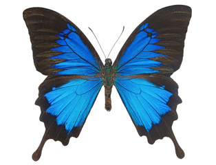 Blue Ulysses Butterfly