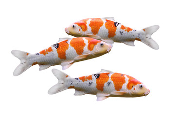 carp fish koi fish isolated on white