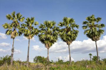 Five Sugar palm trees.