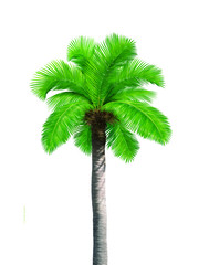 Big single coconut tree palm isolated on white background
