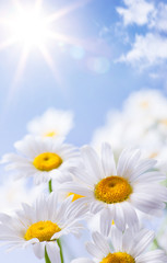Fototapete - daisies floral summer background