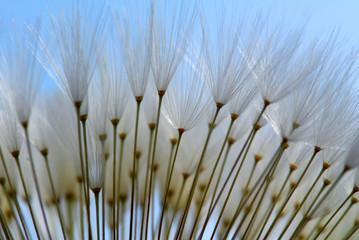 Canvas Prints Dandelions and water Dandelion seeds