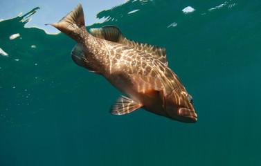 Fototapete - Red grouper fish swimming in ocean