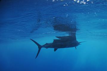 Wall Mural - Sailfish fish swimming in ocean