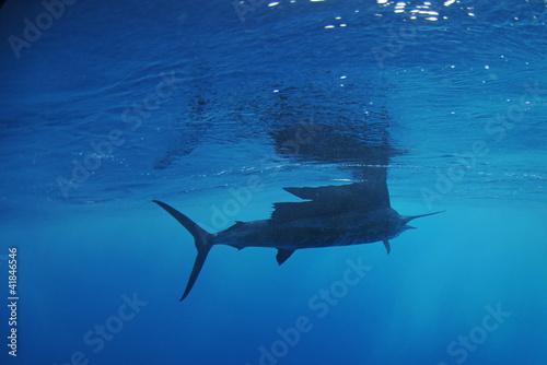 Fototapete Sailfish fish swimming in ocean