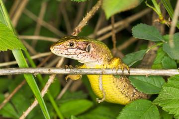 a portrait of a Sand Lizard (Lacerta agilis)