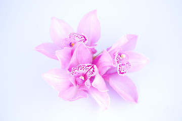 beautiful pink orchid against blue background