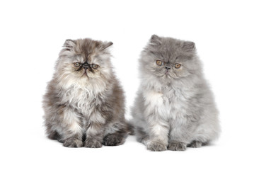 Two persian kittens in studio