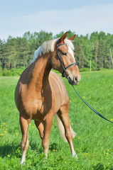 palomino cart horse in the spring field