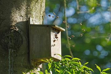 Bumblebees in Bird Nest Box