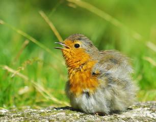 Robin bird fledgling