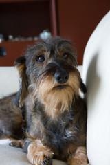 Luce cane bassotto sul divano di casa