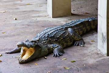 Crocodile on a farm, Thailand