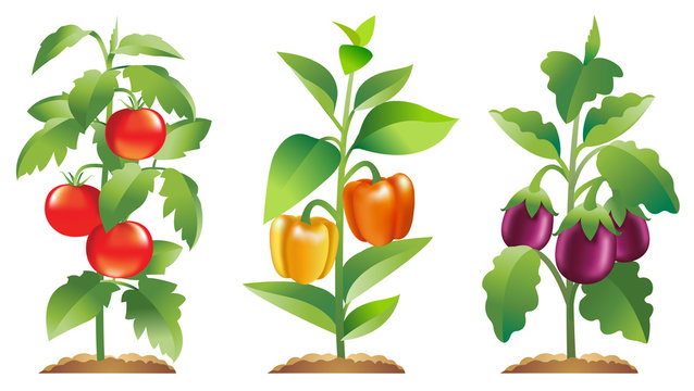Eggplant, Tomato and Bell pepper plants