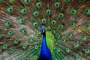 Peacock Showing Off Feathers