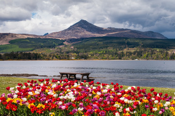 Goatfell and Tulips viewed from Brodick on the Isle of Arran
