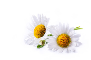 art daisies summer  white flower isolated on white background