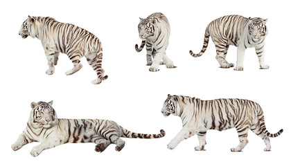 Set of white tiger. Isolated  over white