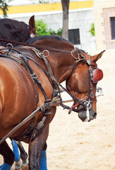 beautiful breed carriage  horses in Andalusia looking behind,  S