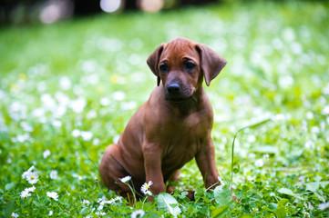 Rhodesian ridgeback puppy outdoors