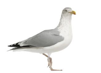 European Herring Gull, Larus argentatus, 4 years old, walking