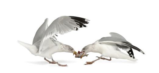 European Herring Gulls, Larus argentatus, 4 years old, fighting
