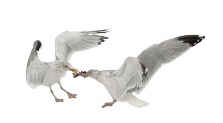 European Herring Gulls, Larus argentatus, 4 years old
