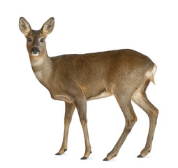 European Roe Deer, Capreolus capreolus, 3 years old