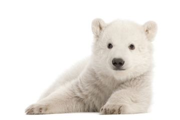 Deurstickers Ijsbeer Polar bear cub, Ursus maritimus, 3 months old